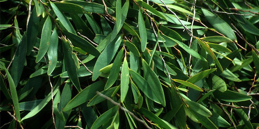 repelente natural de eucalipto